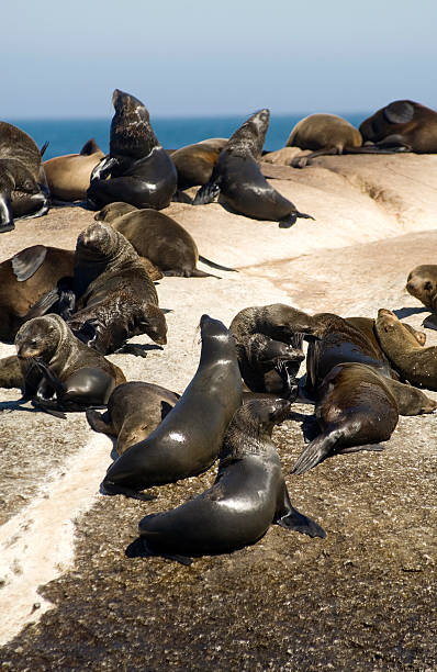 Seals Colony of Cape fur seals in the Atlantic ocean Seal Island Duiker Island Capt Town South AfricaPlease view other related images of mine hout stock pictures, royalty-free photos & images