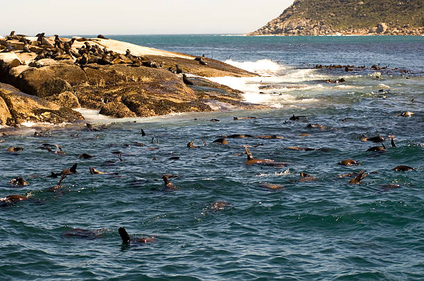 Seals Colony of Cape fur seals in the Atlantic ocean Seal Island Duiker Island Capt Town South Africa FOCUS ON THE SEALS IN THE WATER hout stock pictures, royalty-free photos & images
