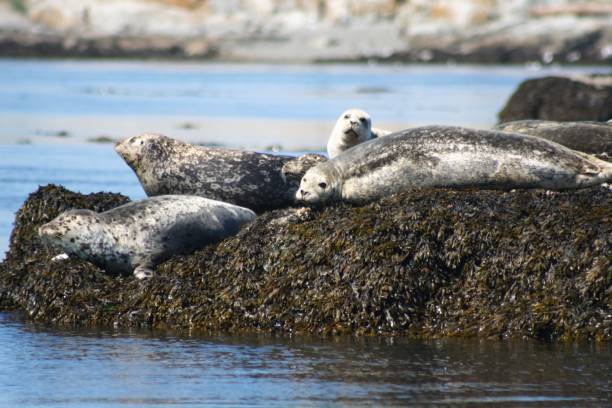 Seals Seals hout stock pictures, royalty-free photos & images
