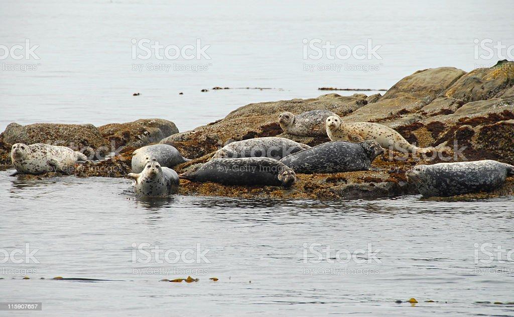 Seals resting on  rock,Georgia Strait,British Columbia,Canada royalty-free stock photo