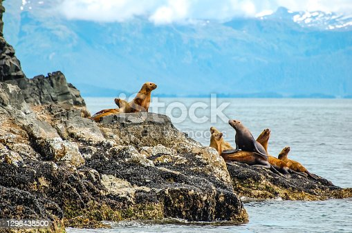 The Prince William Sound is full of many beautiful scenes. Seals rest on rocks taking a respite from their search for salmon. These seals were viewed while boating in the Prince William Sound.