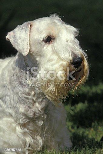 Sealyham Terrier Dog, Portrait of Adult