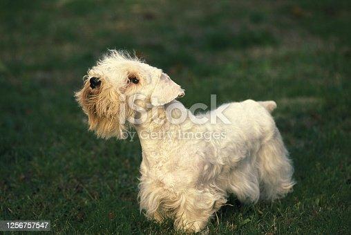 Sealyham Terrier Dog standing on Lawn