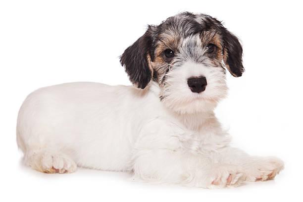 sealyham-terrier, isoliert auf weiss - sealyham terrier stock-fotos und bilder