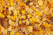 Seamless background from yellow autumn leaves