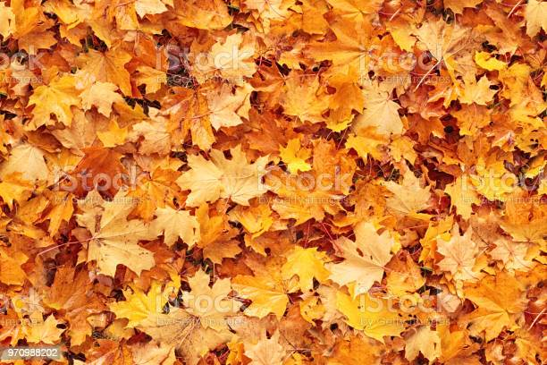 Seamless autumn leaves background picture id970988202?b=1&k=6&m=970988202&s=612x612&h=nm4fn27t6ruqe4ojnjuay2 ihmjibp emupx166tzi4=