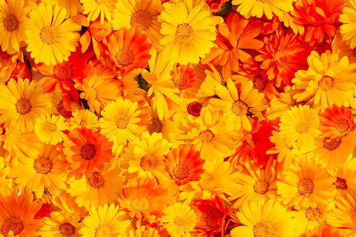 Seamless background of orange yellow marigold flowers. Calendula officinalis, the pot marigold, ruddles, common marigold or Scotch marigold.