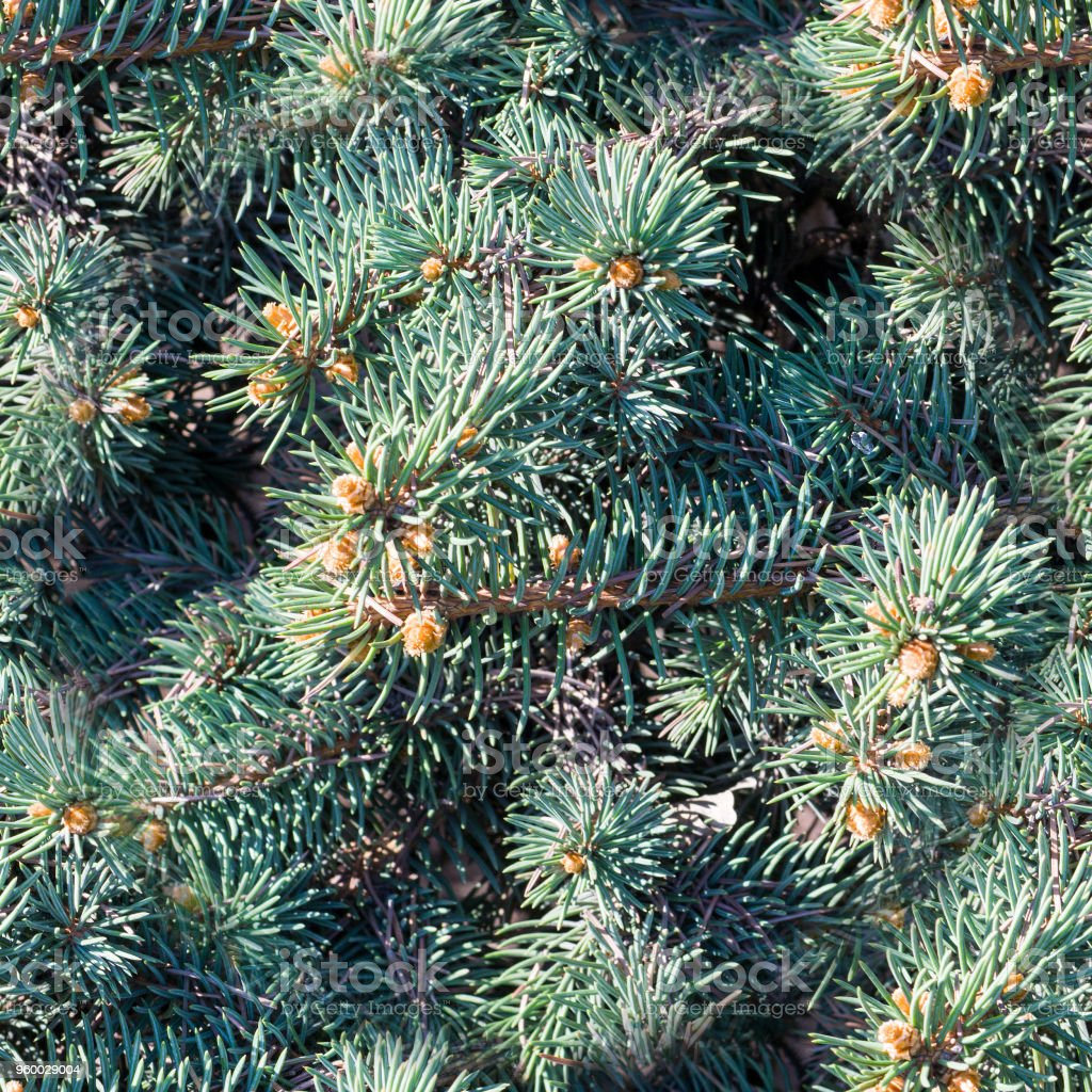 seamless fir-tree branch background close up. nature, stock photo