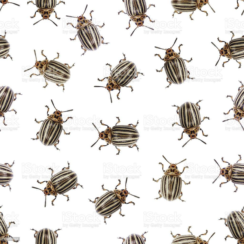 Seamless texture - Colorado beetle on a white royalty-free stock photo