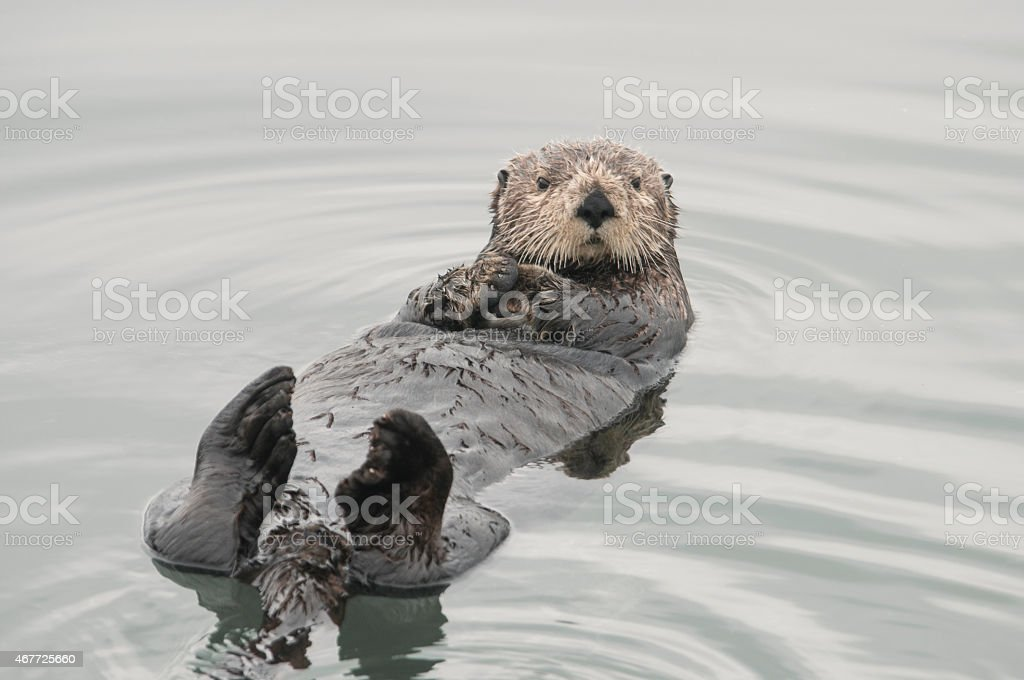 SeaOtter stock photo