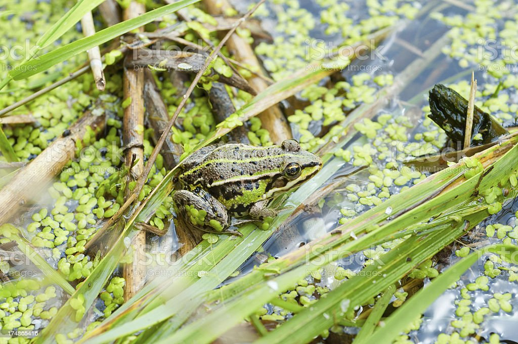 search the pool frog stock photo