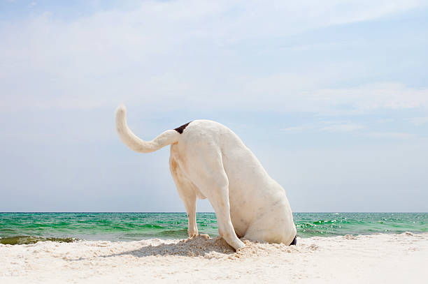 Searching Dog A large dog digging a whole at the beach in search of crabs. head in the sand stock pictures, royalty-free photos & images