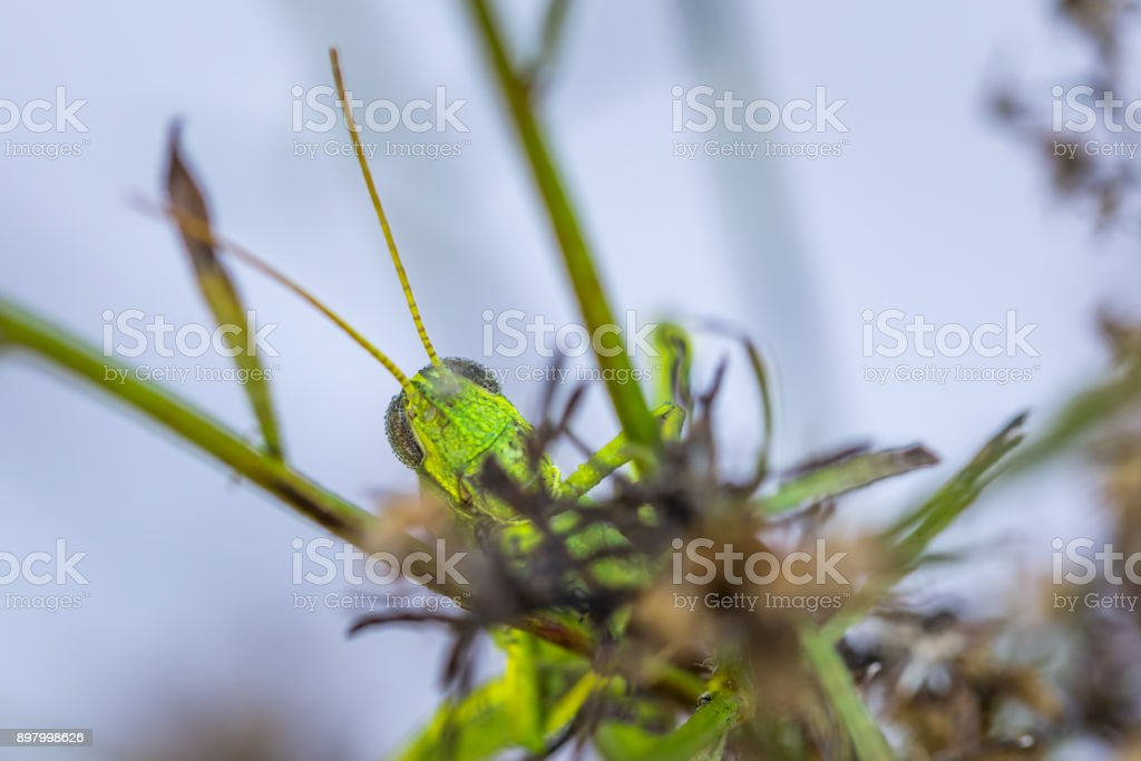 Searching Grasshopper stock photo