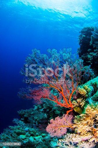 A Sea Fan İn Palau