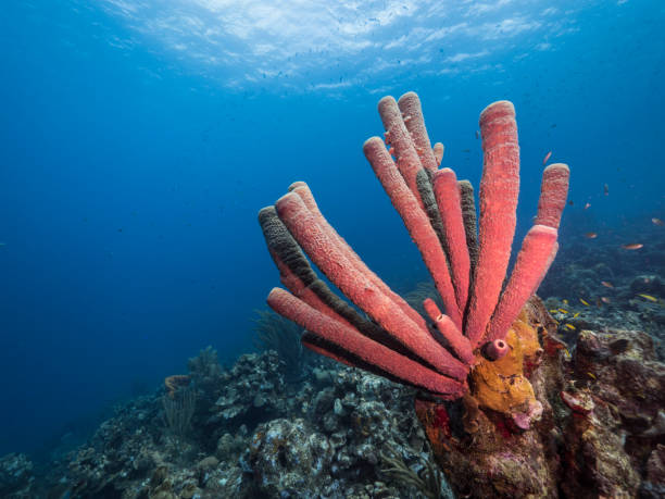 Seascape of coral reef in the Caribbean Sea around Curacao with various corals and sponges stock photo