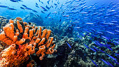 wide angel of coral reef at scuba dive around Curaçao /Netherlands Antilles with sponge in foreground and school of fish in blue background