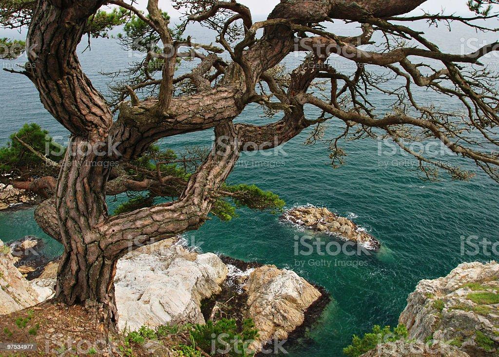 Seascape pine tree near sea royalty-free stock photo