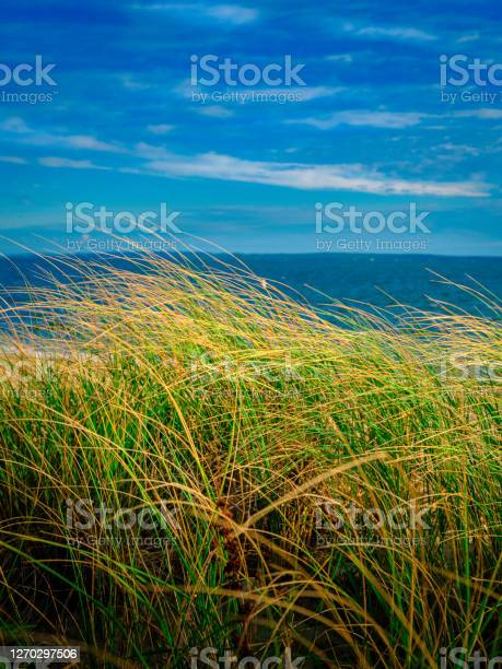 Photo of Seascape with tall grass plants waving in the wind against blue cloud filled summer sky on Cape Cod