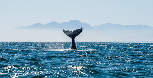 Seascape with Whale tail. Seascape with Whale tail. The humpback whale (Megaptera novaeangliae) tail cetacea stock pictures, royalty-free photos & images