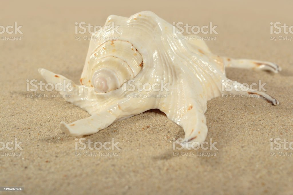 Seashell close-up on a sand royalty-free stock photo