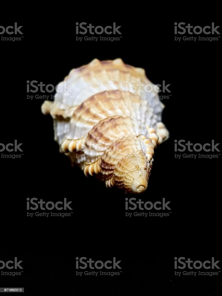 seashell isolated on black background stock photo