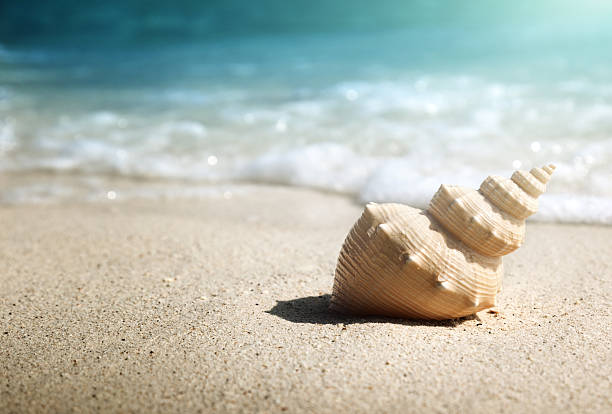 seashell on the beach (shallow dof) - zeeschelp stockfoto's en -beelden