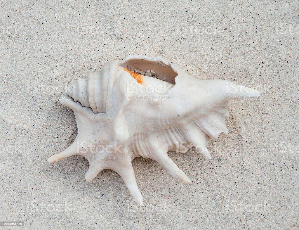 Seashell on the sand stock photo