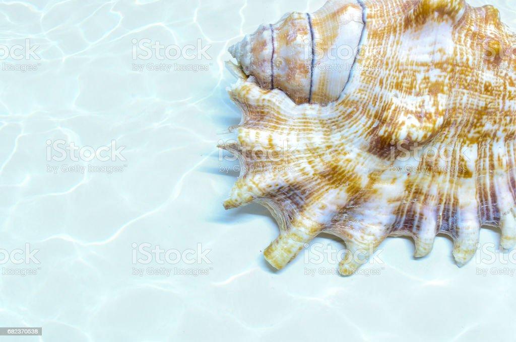 seashell zbiór zdjęć royalty-free