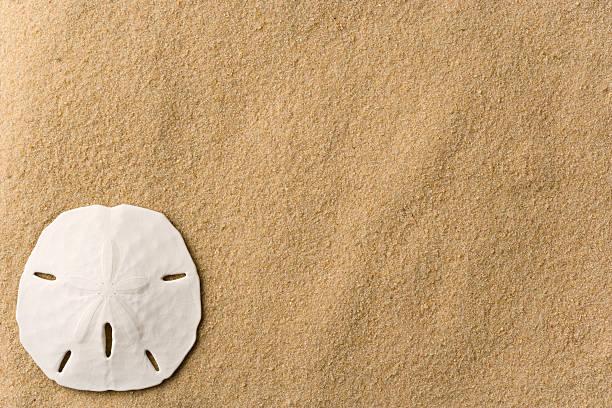 seashell auf dem strand-sand dollar-hintergrund. horizontale. full-frame. - sanddollars stock-fotos und bilder