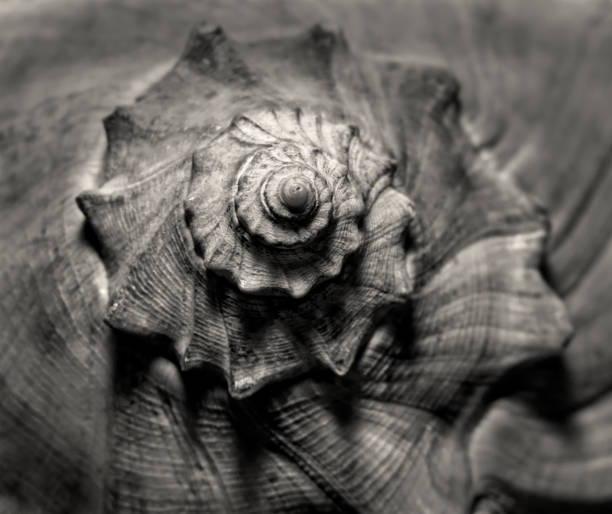 seashell sketchy face - pencil drawing stock pictures, royalty-free photos & images