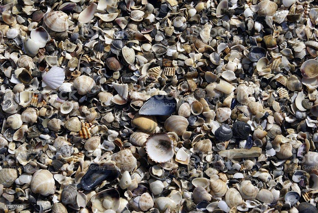 Seashells Along Adriatic Coast Italy 2 royalty-free stock photo