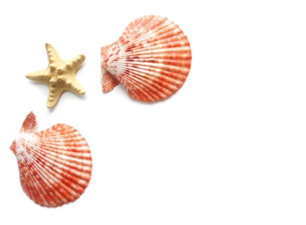 conchas e estrelas do mar, com espaço para texto em fundo branco. fundo de verão. - concha parte do corpo animal - fotografias e filmes do acervo