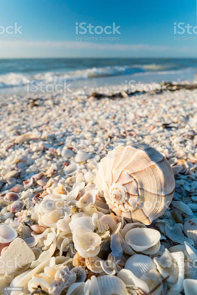 Seashells on the Beach of Sanibel Island in Florida stock photo