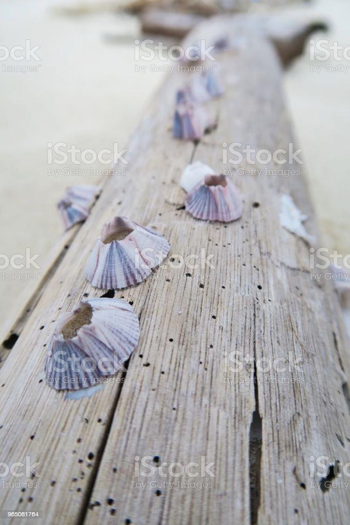 Seashells on wood / beach royalty-free stock photo
