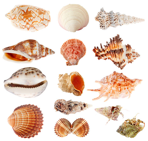 seashells set isolated on white background - animal shell stock pictures, royalty-free photos & images