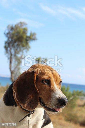 beagle dog sitting at the seaside