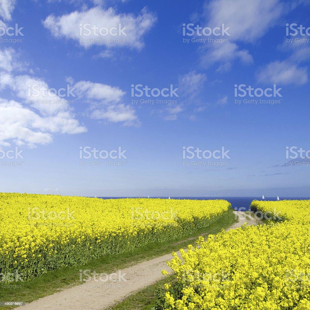 seaside canola field stock photo