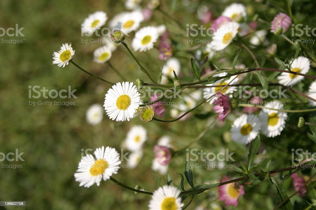 Seaside Daisies Erigeron Karvinskianus stock photo