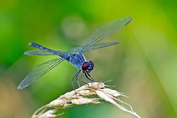 Seaside dragonlet dragonfly picture id545111084?b=1&k=6&m=545111084&s=612x612&w=0&h=shqouz8sbdkvlghgp1ro8gciaouecmz  2gvmrsv wi=