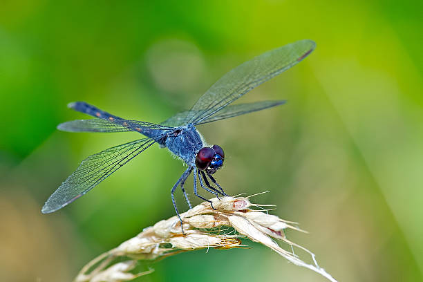62 986 Dragonfly Stock Photos Pictures Royalty Free Images Istock