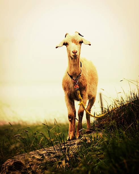 Seaside Goat stock photo
