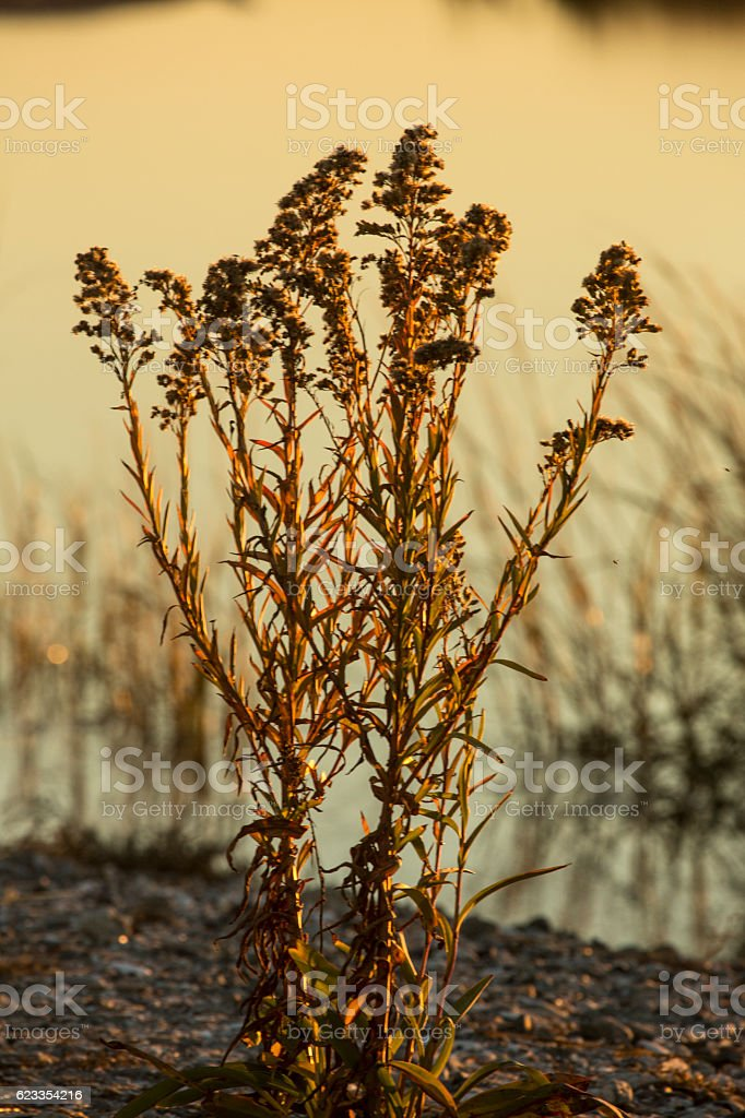 Seaside goldenrod stands against a lagoon at Milford Point, Conn stock photo