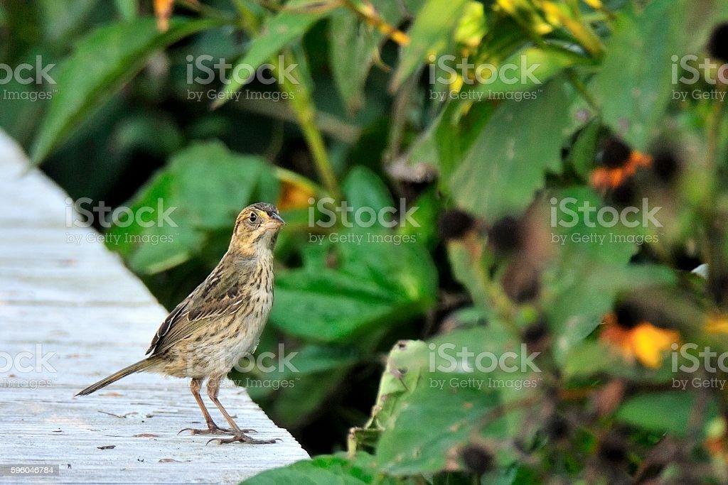 Seaside Sparrow in Sunset Park stock photo