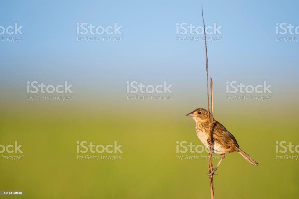 Seaside Sparrow in the Marsh stock photo