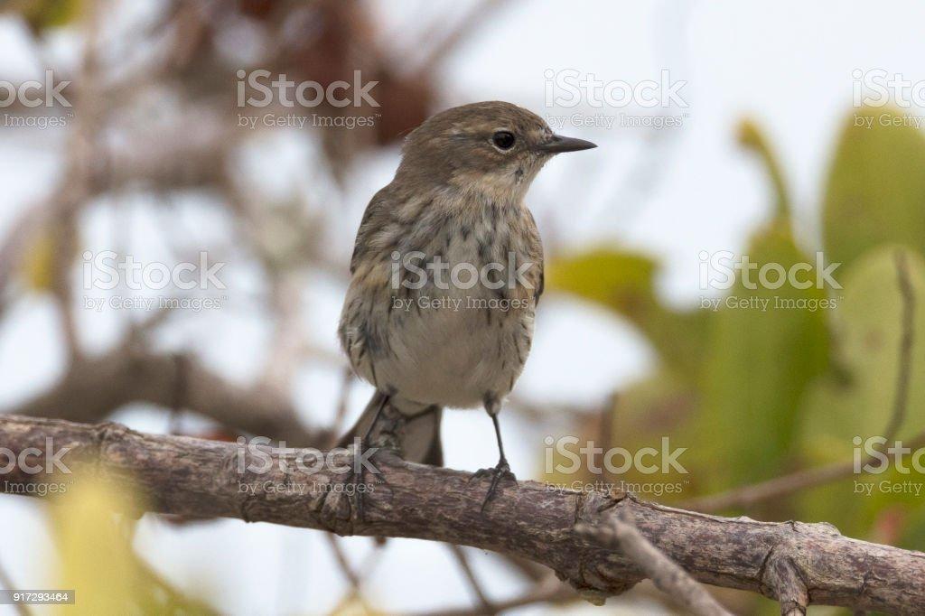 Seaside Sparrow stock photo
