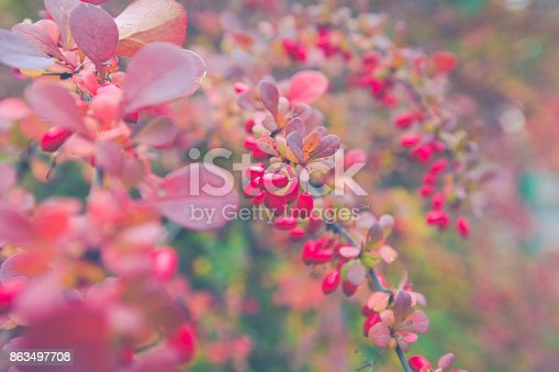 948743278 istock photo Season of beautiful autumn leaves and red small fruits. Nature background. 863497708