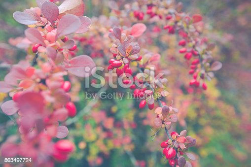 948743278 istock photo Season of beautiful autumn leaves and red small fruits. Nature background. 863497724
