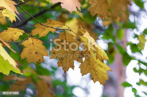 948743278 istock photo Season of beautiful autumn leaves. Nature background. 863497666