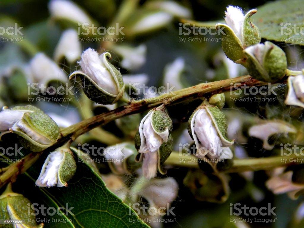 Saison de peluches de peuplier de floraison sur une branche en gros plan photo libre de droits