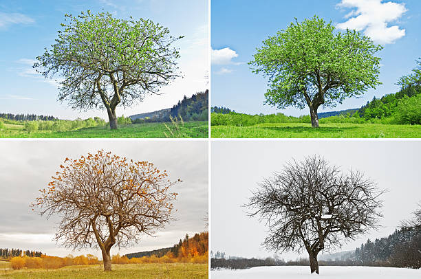 season alone tree in for season four seasons stock pictures, royalty-free photos & images